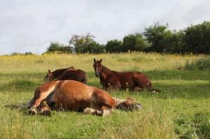 chevaux_montagne_aux_alouettes_bourgogne_proche_guedelon