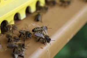 initiation_apiculture_bourgogne_buissonniere_yonne_montagne_aux_alouettes_pres_guedelon